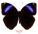 Thaumantis odana (Java)