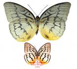 Malanocyma faunula faunula (Malaysia) A2