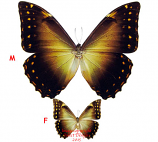 Morpho telemachus (Peru) - females