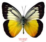 Cepora iudith iudith (Java)