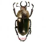 Streptocerus speciosus (Chile)