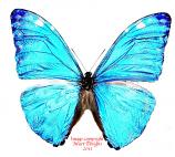 Morpho marcus  (Peru) A-