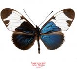 Heliconius sapho (Costa Rica)