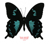 Papilio epiphorbas (Madagascar)