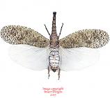 Zanna nobilis (Malaysia)