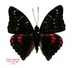Euthalia adonia (Java)