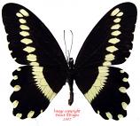 Papilio gallienus (RCA) A2