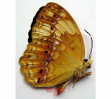 Cupha erymanthis (Philippines) A-