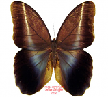Caligo idomeneus (Peru)