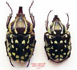 Hypselogenia geotrupina (Tanzania)