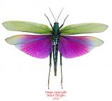 Titanacris albipes (Peru)