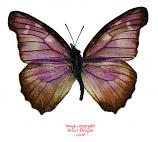 Libythea geoffroy bardas (Philippines)