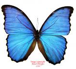 Morpho didius (Peru) A-