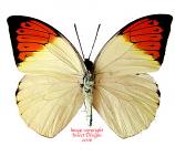 Hebomoia glaucippe mindorensis (Philippines)