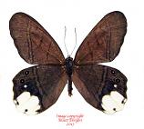Pierella astyoche astyoche (Peru)