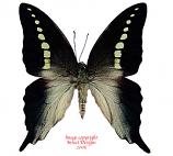 Graphium codrus codrus (Ceram) A-