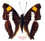 Doxocopa selina (Peru)