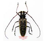 Taeniotes naevius (Ecuador) A2