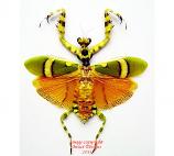 Theoprobus elegans (Malaysia)