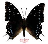 Charaxes etesipe (RCA)