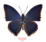 Charaxes bipunctatus (RCA) A2