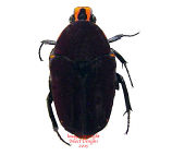 Euchroea episcopalis (Madagascar)