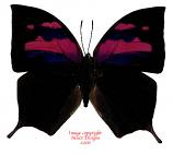 Anaea nessus (Peru) A-