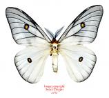 Ceranchia apollina (Madagascar) A-