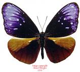 Euploea mulciber mulciber (Thailand) A-