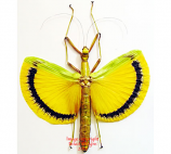 Tagesoidea nigrofasciata (Malaysia)