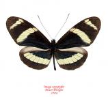 Heliconius cydno pachinus (Costa Rica) A-