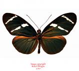 Heliconius antiochus (Peru) A-