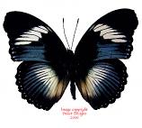 Hypolimnas monteironis (RCA) A2