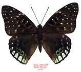 Dichorragia ninus ninus (Ceram)