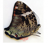 Prothoe francki semperi (Philippines)