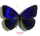 Eunica clytia (Peru) A-