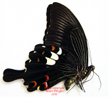 Papilio helenus palawanicus (Philippines)
