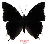 Charaxes contrarius (Tanzania) A2