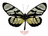 Ituna lamirus (Peru)