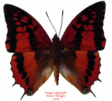 Charaxes lasti (Tanzania) A1 and A-