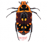 Euchroea aurostellata (Madagascar) A2
