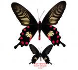 Pachliopta aristolochiae asteris (Malaysia)