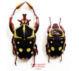 Cheirolasia burkei (Tanzania) A2