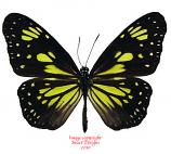 Parantica cleona luciplena (Peleng)