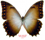 Morpho theseus aquarius (Costa Rica)