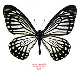 Chilasa epycides epycides (Thailand) A-