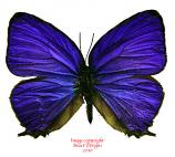 Arhopala anthelus (Belitung) A2