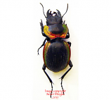 Mouhotia planipennis (Thailand)