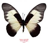 Graphium hachei (RCA) A2