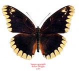 Cethosia leschenaulti (Timor)